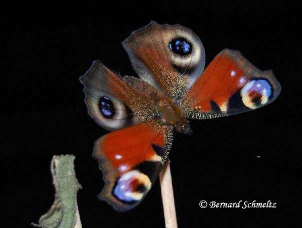 Paon-du-jour dérangé lors du séchage de ses ailes et montrant ses ocelles. © Bernard Schmeltz