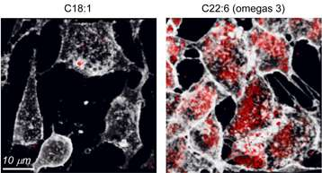 Endocytose de transferrine (transport du fer) dans des cellules contenant des lipides polyinsaturés dans leurs membranes (à droite) par rapport à celle dans des cellules qui en sont dépourvues (à gauche). En 5 minutes, le nombre de vésicules d'endocytose formées (transferrine internalisée en rouge) est augmenté près de 10 fois, reflétant une endocytose facilitée. © Hélène Barelli