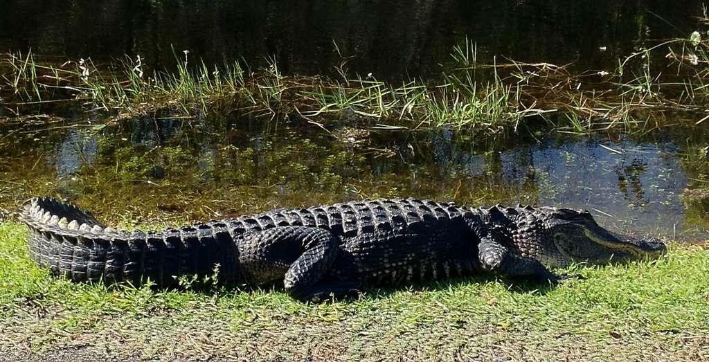 Le parc national des Everglades est habité par une multitude d'espèces. Il vaut mieux ne pas s'approcher de certains individus, comme cet alligator… © Gopal Venkatesan, Flickr, CC by 2.0