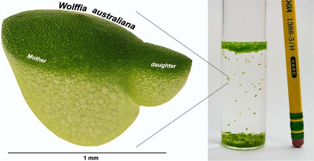 Dépourvue de racines et réduite à une simple feuille de la taille d'une tête d'épingle, la lentille d'eau se reproduit sur un mode similaire à celui de la levure, par bourgeonnement à partir de la cellule mère. Elle pousse sous forme de colonies où peuvent cohabiter jusqu'à quatre générations. © Sowjanya Sree/Philomena Chu