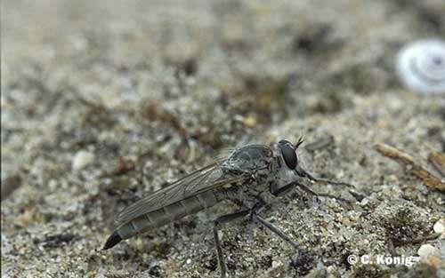 Asilides : Eutolmus rufibarbis, prédateur d'insectes © C. König Reproduction et utilisation interdites