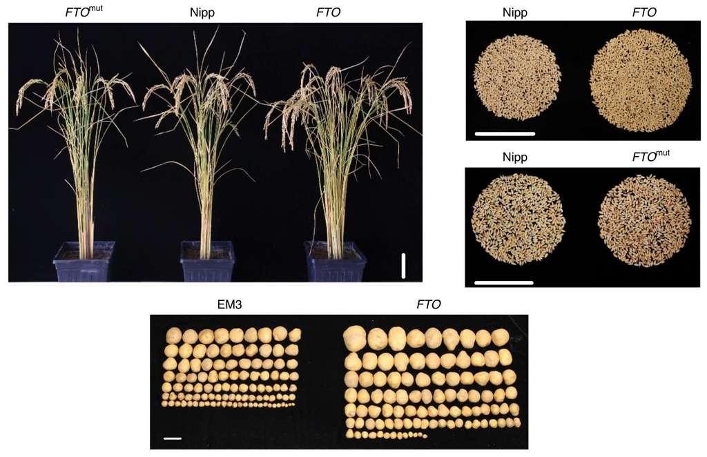 Le rendement du riz et des pommes de terre est augmenté de 50 % (en haut les plants de riz, en bas les pommes de terre). © Qiong Yu et al., Nature Biotechnology, 2021