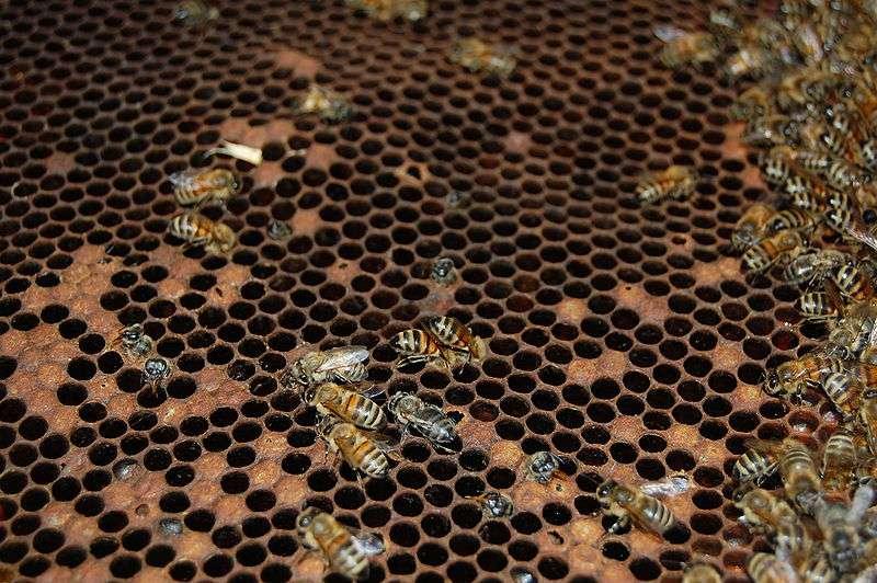 La loque américaine sévit également en France. Les bactéries s'attaquent aux larves d'abeilles de moins de 55 heures, lesquelles sont d'ailleurs contaminées par la nourriture. © Tanarus, Wikimedia common, CC by-3.0