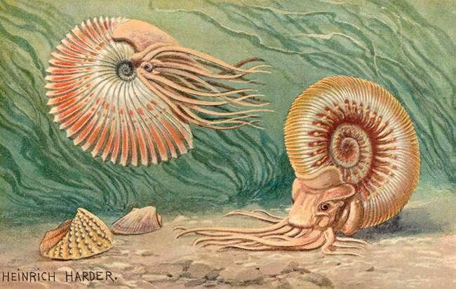 Illustration d'ammonites. © Heinrich Harder (1858-1935), domaine public, Wikimedia Commons
