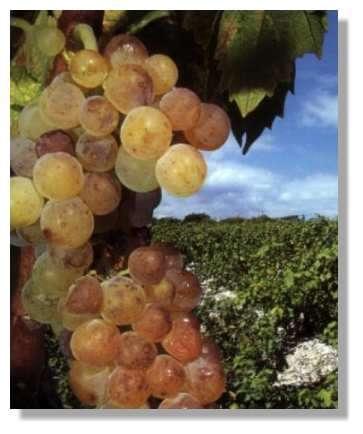 C'est la saison des vendanges du raisin blanc !