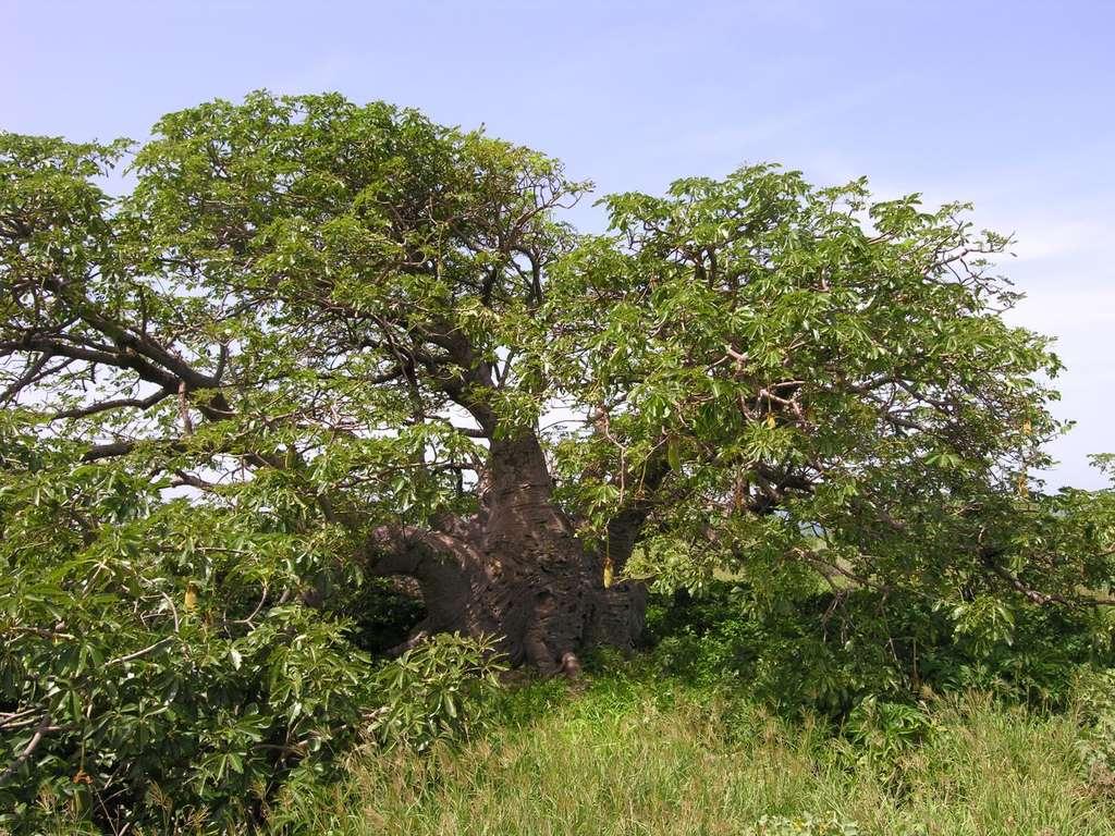Baobab au tronc développé