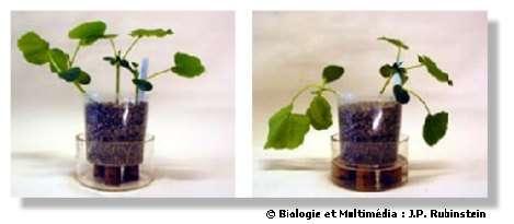 Figure 10 - Turgescence (à gauche) et fanaison (à droite) d'une jeune plante de Potimarron. La fanaison est obtenue lors d'une déficience en eau mais elle est réversible lors d'un apport d'eau si le point de non retour n'est pas atteint