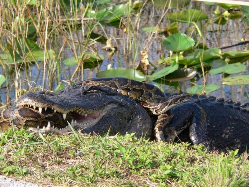 Un alligator américain attaquant un python de Birmanie. © Domaine public