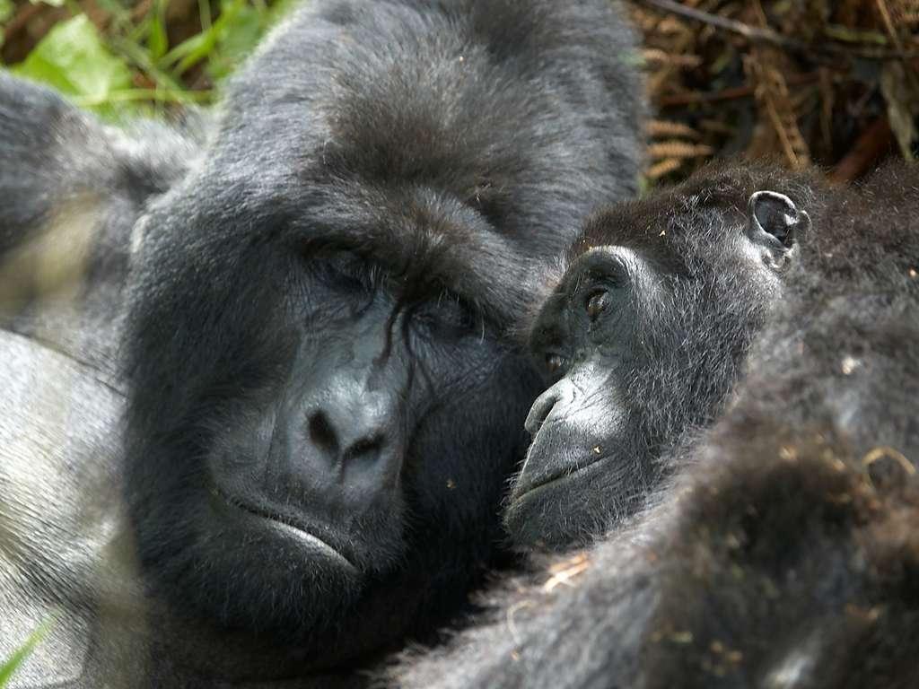 Le gorille n'est pas la bête de sexe que sa réputation lui prête. Il ne pratique que rarement le sexe et sait se montrer tendre lorsqu'il entreprend un rapport pour le plaisir. Cliquez pour voir la galerie complète. © Stefan Gara, Fotopédia, cc by nc nd 2.0