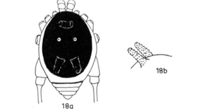 L'espèce Metagryne bicolumnata a été découverte en 1959 par l'arachnologiste (spécialiste des arachnides) allemand Carl Friedrich Roewer. Voici les croquis qu'il a réalisés à l'époque. © Senckenbergiana biologica, 1959
