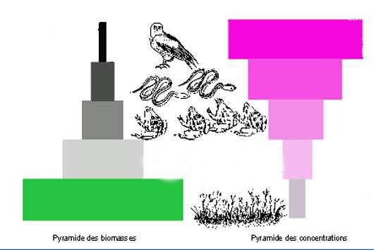 Pyramide des biomasses et pyramide de la cioaccumulation.