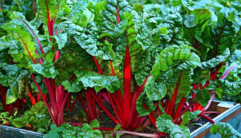 Bettes à cardes rouges. © Mabel Amber, Pixabay, DP
