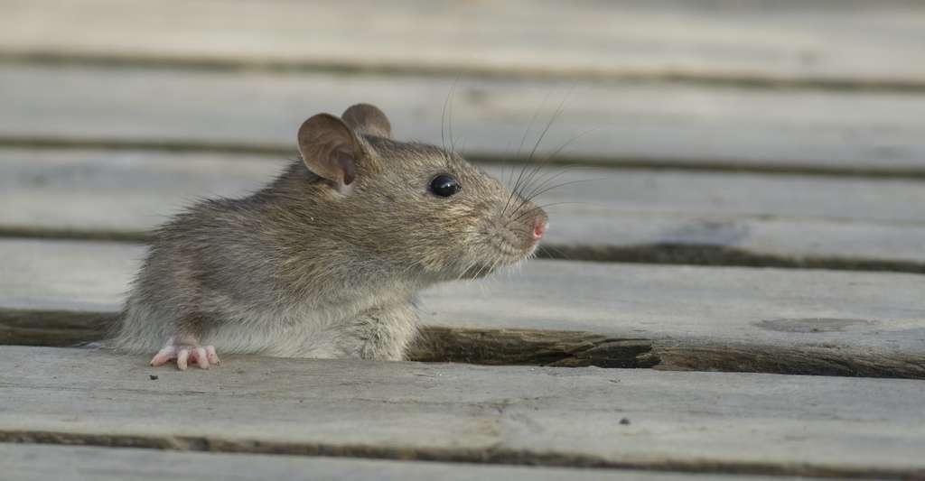 Comme la chauve-souris, mise en lumière par la pandémie de Covid-19, le rat est parmi les animaux connu pour porter des agents pathogènes transmissibles aux Hommes. Et il prolifère dans les zones où les activités humaines ont fait reculer la nature sauvage. © John Sandoy, Adobe Stock