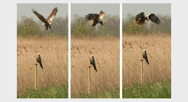 Un busard des roseaux survolant un appeau. C'est au cours de ces expériences que le comportement belliqueux des mâles a été observé. © Audrey Sternalski