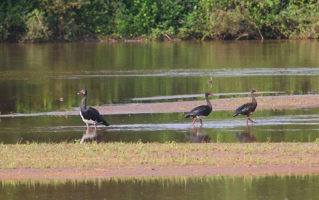 Oies armées de Gambie dans leur milieu naturel, au Mozambique. © Muchaxo, Flickr, cc by nc nd 2.0