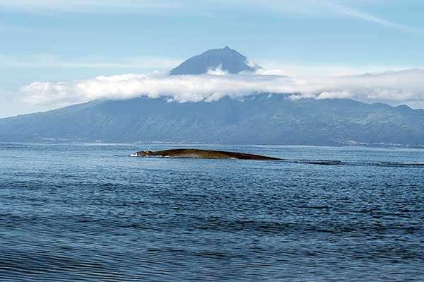 Baleine bleue aux Açores. © Frank Wirth, GNU FDL Version 1.2