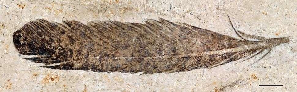 Photographie de la plume fossilisée. Barre d'échelle : 5 mm. © Ryan Carney et al. 2012, Nature Communications