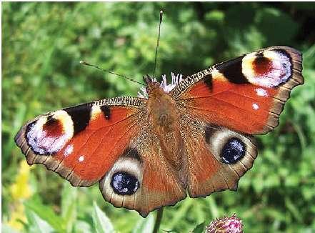 Les herbicides limitent les ressources disponibles pour les papillons comme ce paon du jour, Aglais io © Peter Ginzinger