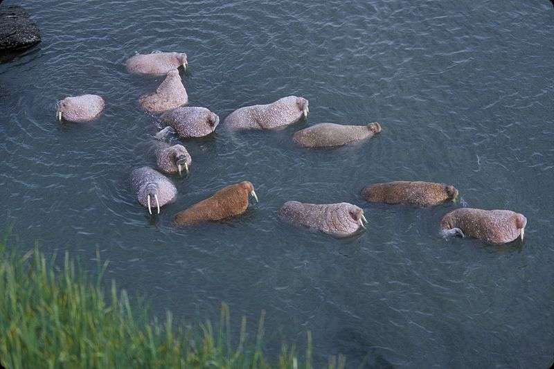Groupe de morses en Alaska. © Hickey Bill, US Fish and Wildlife Service, domaine public