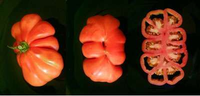 Tomate cœur de bœuf. © DR