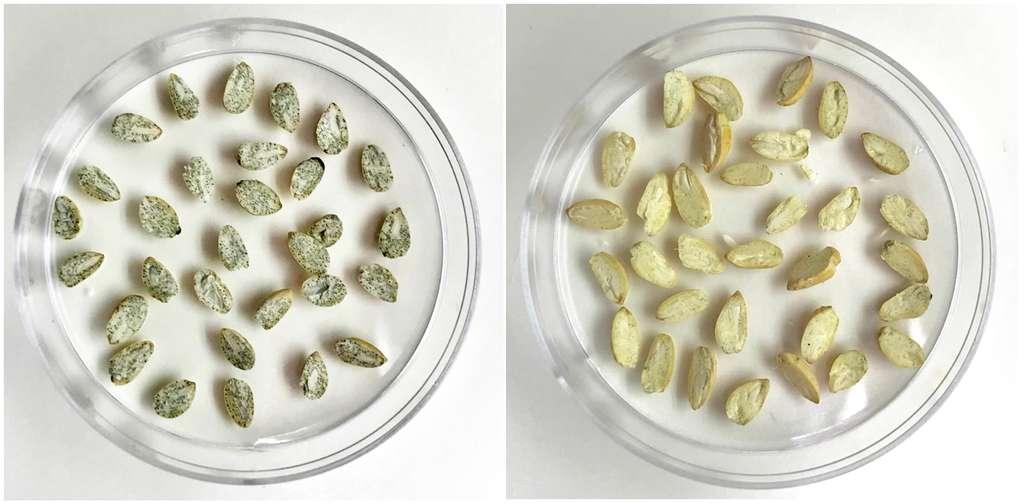 À gauche, des graines de coton normales contenant du gossypol. À droite, les graines de coton TAM66274 ne contenant pas de gossypol. © Devendra Pandeya, Texas A&M AgriLife