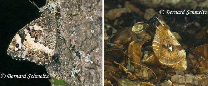 À gauche : le Silène, Brintesia circe (Fabricius, 1775) (Satyridé). À droite : la Hachette, Aglia tau (L., 1758) (Saturniidé), le mâle. © Bernard Schmeltz