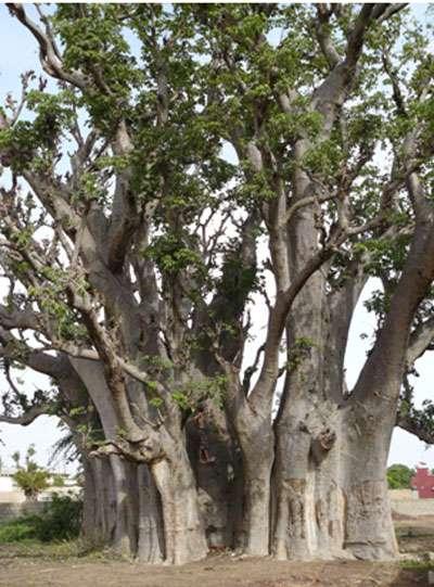 Baobab de Warang : plusieurs carottages ont été réalisés sur les différents flancs de ce baobab afin de démontrer la présence ou non d'un ou de plusieurs troncs fusionnés. © Sébastien Garnaud