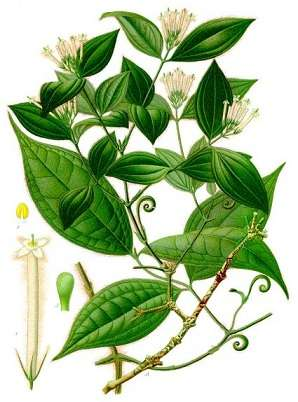 Strychnos toxifera est une plante servant à la fabrication du curare. © Koehler 1887, Wikimedia Commons, DP