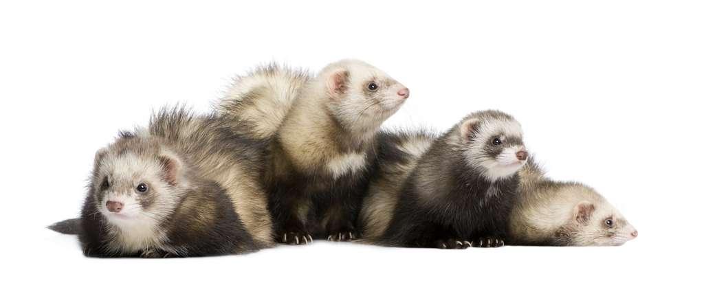 Les scientifiques ont réalisé leurs tests de propagation sur des furets. © Eric Esselé, Adobe Stock