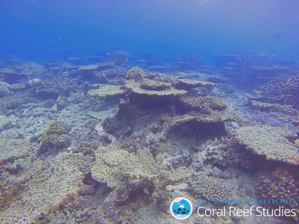 Les coraux grandissant en forme de disque ou de « table » se font de plus en plus rares dans la Grande Barrière de Corail. © Andreas Dietzel