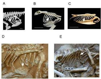 Quelques apophyses uncinées, des appendices osseux sur les côtes. Leur présence sur des fossiles de dinosaures montre qu'ils respiraient probablement comme les oiseaux (qui le font d'une manière très particulière). En A, les apophyses d'un casoar à casque (Casuarius casuarius), un coureur. En B, celles d'un Hibou Grand Duc d'Europe (Bubo bubo). En C, celles d'un plongeur, le Pingouin torda (Alca torda). En D et E, celles, respectivement d'Oviraptor philoceratops et de Velociraptor mongoliensis. © J. R. Codd, P. L. Manning, M. A. Norell, Steven F. Perry