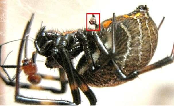 L'organe de reproduction masculin se situe dans l'encadré rouge. Il continue à inséminer la femelle néphile alors que son propriétaire (à gauche) se fait manger. © Li et al. 2012, Biological Letters