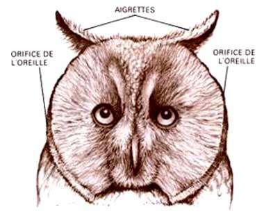 Tête de hibou montrant le rôle des aigrettes pour rabattre les ondes sonores vers l'oreille de l'animal. © Reproduction et utilisation interdites