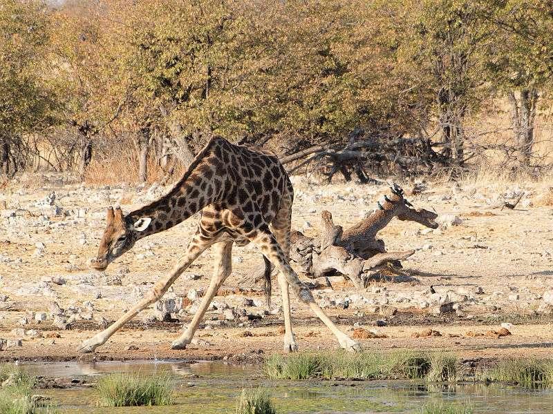 Position scabreuse de la girafe en train de boire. © Gusjer, Wikipédia, CC by 2.0
