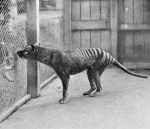 Un tigre de Tasmanie en captivité au zoo de Hobart en 1933. (Photo domaine public)