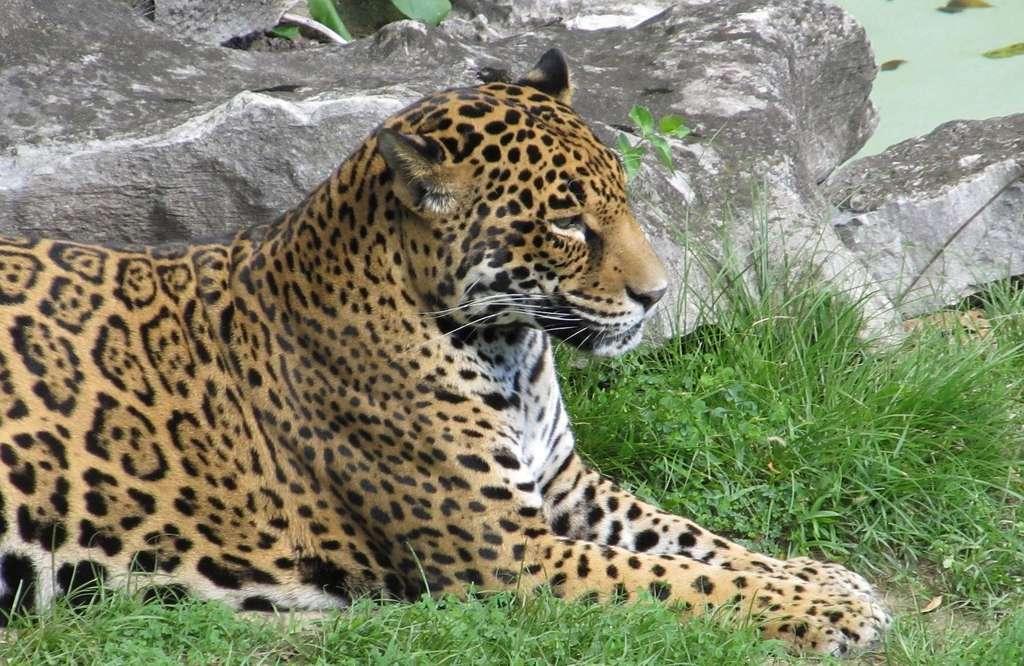 Sur ce jaguar, des rosettes tachetées de points noirs. © skeeze, Pixabay, DP