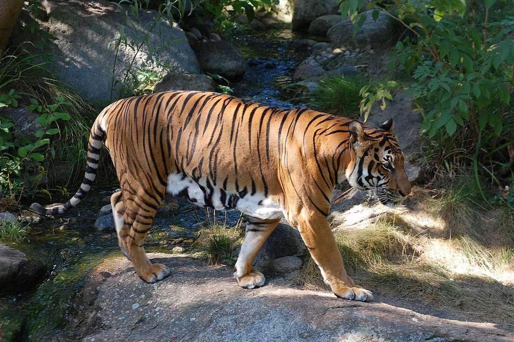 Un tigre dans la nature (Panthera tigris corbetti). © Accipiter, CC by 3.0, 2.5, 2.0, 1.0