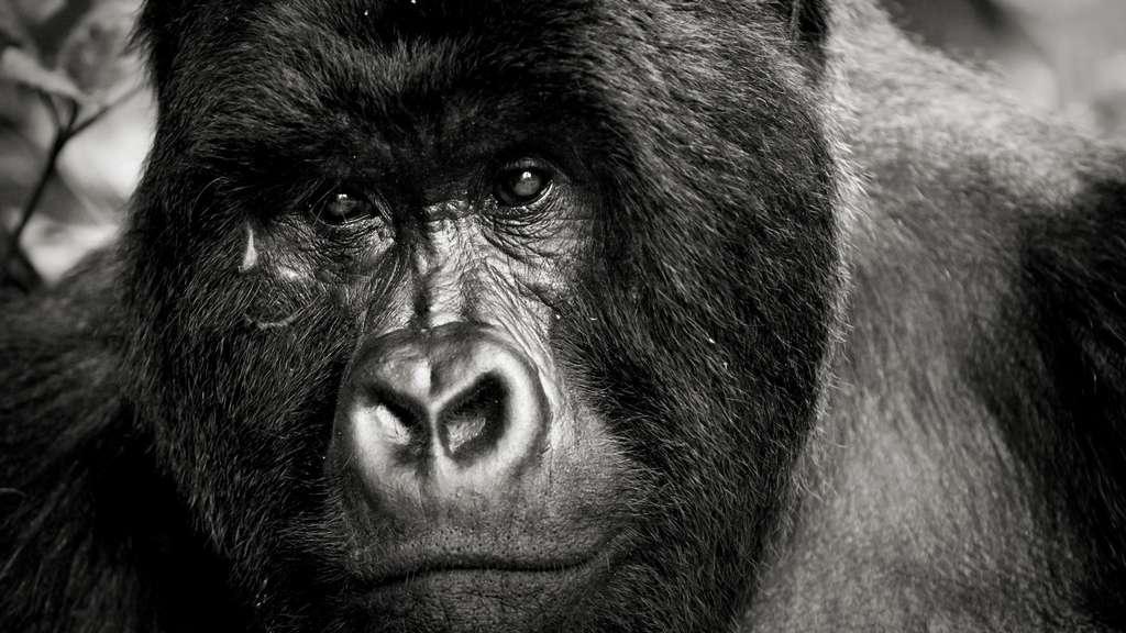 Gorille dos argenté numéro deux de la hiérarchie