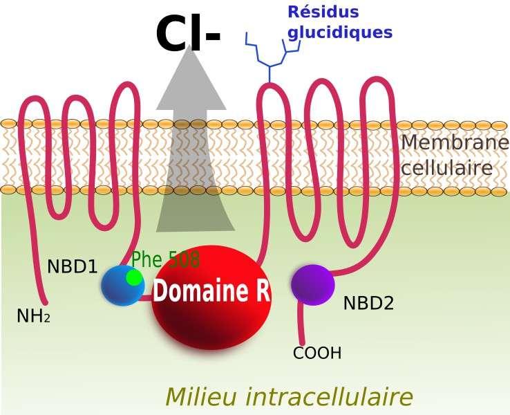 Le récepteur CFTR est schématisé ici. Il joue le rôle d'un canal ionique permettant la sortie des ions chlorure (Cl-) vers le milieu extracellulaire. La localisation de la mutation ΔF508 est indiquée en vert. © Toony, Wikipédia, cc by sa 3.0