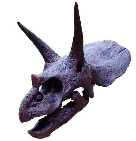 Crâne de tricératops. Source Commons