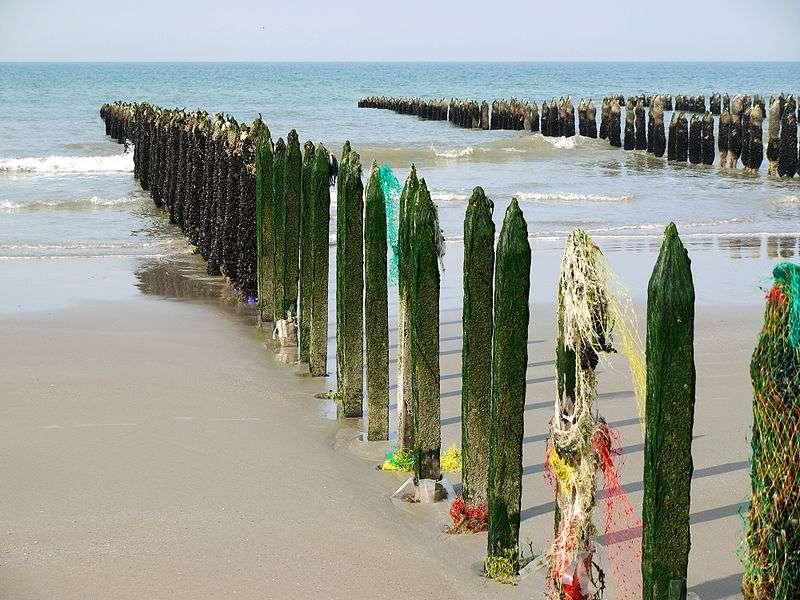 Moules sur des bouchots dans la baie de Wissant, dans le Pas-de-Calais. Les propriétés nutritionnelles des produits de la mer seraient plus liées à l'espèce qu'au lieu de production. © Pline, cc by sa 3.0