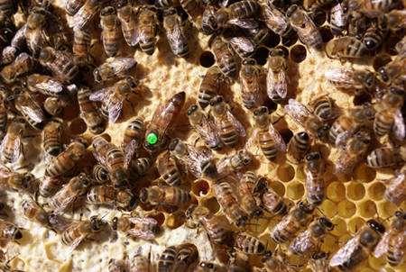 Reine marquée parmi les abeilles. © Christophe Pace, CC by-nc 2.0