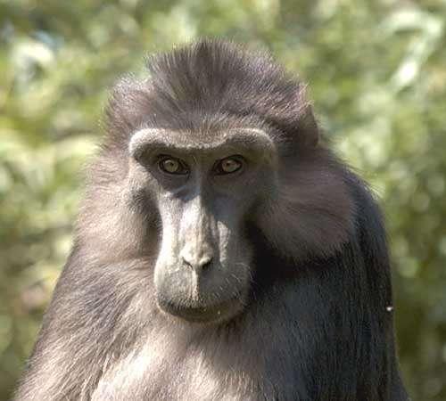Mâle adulte macaque de Tonkean © Georges Prats Reproduction et utilisation interdites