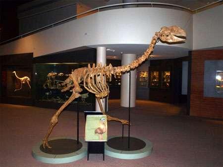 Squelette d'un représentant des dromornithidés, oiseaux géants du Tertiaire d'Australie, dont les adaptations rappellent beaucoup celles de Gastornis, et qui étaient apparemment végétariens. © Museum of Central Australia, Alice Springs