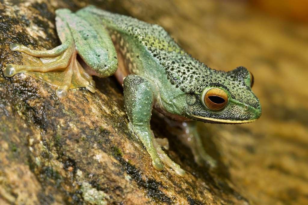 Boophis albilabris, la grenouille aux lèvres blanches