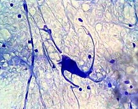 Un neurone observé au microscope. Crédit : Fanny Castets (Commons)