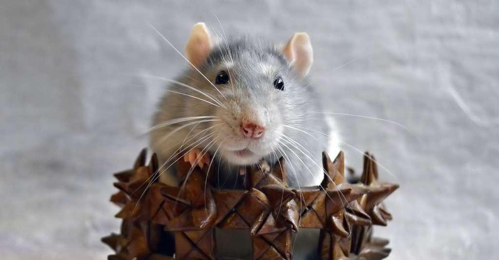 Vibrisse du rat. © Lissa_87 Pixabay, DP