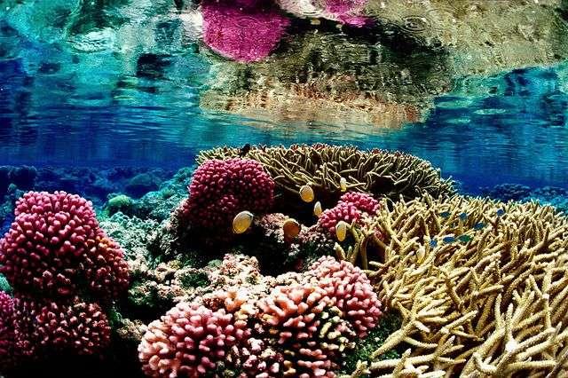 Représentant moins de 0,1 % de la surface des océans, les récifs coralliens abritent environ un quart des espèces marines. © Jim Maragos, U.S. Fish and Wildlife Service