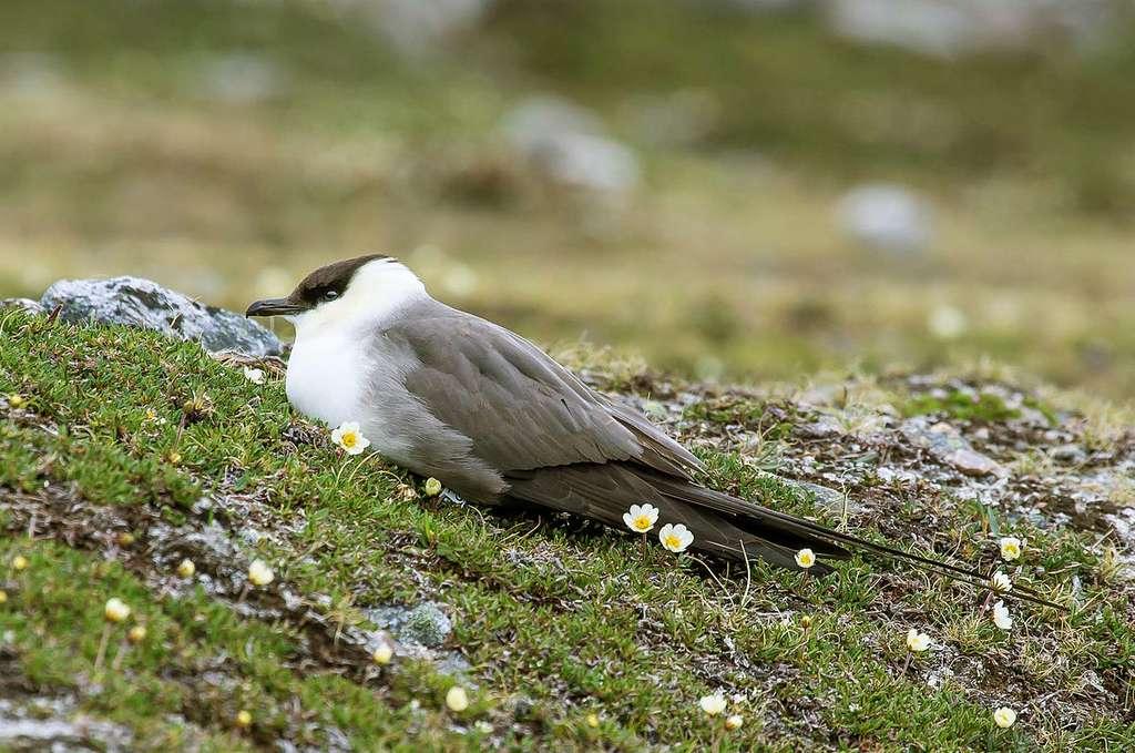 Le labbe à longue queue (Stercorarius longicaudus) est également un prédateur du lemming. © MPF, CC by-sa 2.0