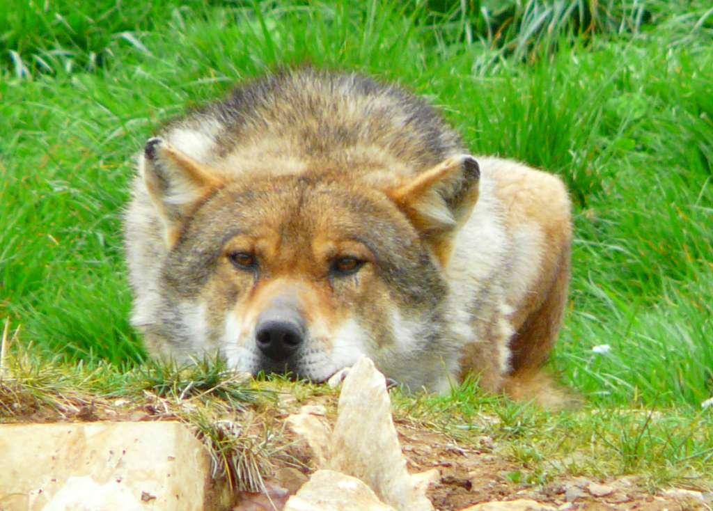 Loup gris au Zoodyssée de Chizé. © Patrick Straub